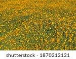 beautiful yellow cosmos flower... | Shutterstock . vector #1870212121