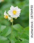 A White Flower Of A Potato...