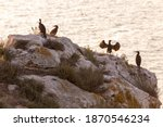Cormorants On A Rock  Crimea ...