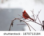 Winter Portrait Of A Cardinal...