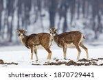 European Mouflons  Ovis Aries...