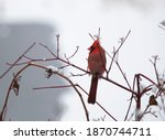 Male Cardinal Looking To The...