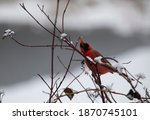 Male Cardinal Eating A Berry...