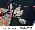 Young Cute Gray Swan Cubs Swim...