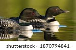 A Common Loon In Maine