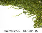 The Green Creeper Plant On The...