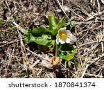 Small photo of Close-up of a white mountain marsh wildflower during the spring. Located on Greenhorn Mountain, Colorado.