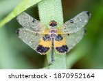 Small photo of yellow striped flutterer (Rhyothemis phylis ). yellow-barred flutterer It lies in the morning grass with dew on the body and wings against a fuzzy background.