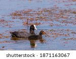 Eurasian Coot Chicks. The...