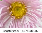 Pastel Pink Aster Flower ...