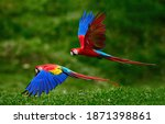 Two Scarlet Macaw Parrots ...