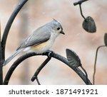 Tufted Titmouse Perching During ...