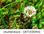 Macro Photo Of Honey Bee With...