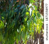 A  Eucalypt Gum Tree Growing In ...