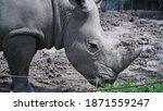 Close Up Of Rhino Eating Green...