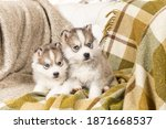 Very Small Husky Puppies. With...