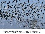 flock of lapwing   vanellus... | Shutterstock . vector #187170419
