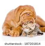 Stock photo bordeaux puppy dog kisses bengal kitten isolated on white background 187201814