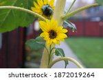 Small Sunflower Covered In...