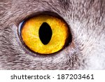 Closeup Eye British Cat