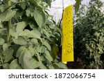 Yellow Sticky Whitefly Trap...