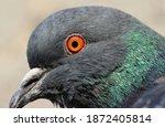 Wild Pigeon Head Ultra Close Up