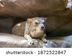 Yellow Spotted Rock Hyrax Is A...