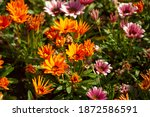 Gazania Is A Genus Of Flowering ...