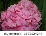 Pink Hydrangea Bush. Gorgeous...