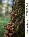 Honey Mushrooms Growing On A...