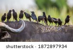 Several Red Billed Buffalo...