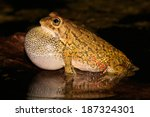 Small photo of Male olive toad (Amietophrynus garmani) calling during the night, South Africa