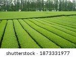 Green Tea Field Of Dosun Tea...