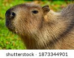 Portrait Of A Capybara In The...