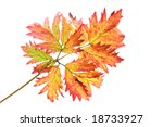 autumn leaf | Shutterstock . vector #18733927