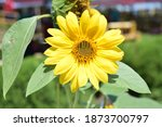 Sunflowers Are Annuals Of The...