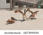 Two Of The Three Brown Pelicans ...