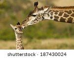 masai giraffe  giraffa... | Shutterstock . vector #187430024