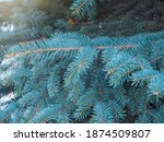 Branches Of Blue Spruce With...