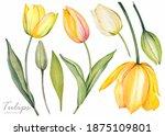 Yellow Tulips On White...