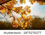 Autumn Oak Leaves On Oak Branch ...