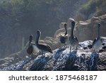 Group Of Pelicans On Rocks ...