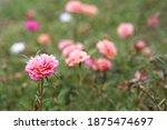Old Rose Portulaca Grandiflora  ...