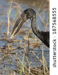 Small photo of African Openbill Stork, Anastomus lamelligerus, feeding on snails in Chobe National Park, Botswana, South Africa