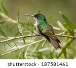 a green and white hummingbird... | Shutterstock . vector #187581461