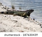 Green Iguana On Its Way Into A...
