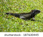 Green Iguana In Grass By A Lak...