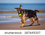 Stock photo german shepherd puppy at the sea 187645337