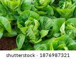 fresh organic green oak lettuce ... | Shutterstock . vector #1876987321