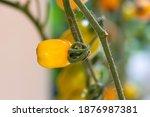 fresh lot of tomato hanging ... | Shutterstock . vector #1876987381